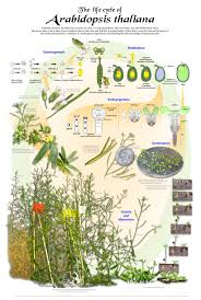 native plants wisconsin life cycle classification posters from university wisconsin