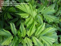 best 25 fishtail palm ideas on pinterest palm wedding minimal