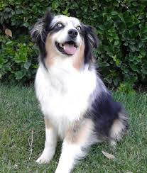 4 month old australian shepherd weight caring creatures pet partners animal health foundation blog