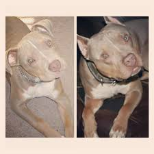 american pitbull terrier 10 months before and after 10 months old and 2 years old pitbulls