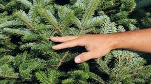 balsam fir tree green valley trees