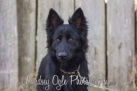 belgian shepherd victoria akc german czech german shepherd male and female puppies in