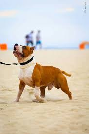 american pitbull terrier traits 45 best dog s cães images on pinterest blue terriers and