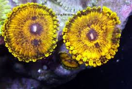 led lighting for zoanthids king tut s gold palythoas live corals sps lps zoas palys palythoa