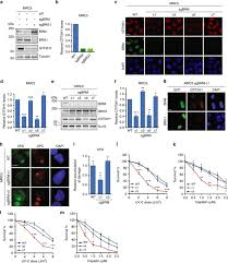 DNA damage sensitivity of SWI SNF deficient cells depends on TFIIH