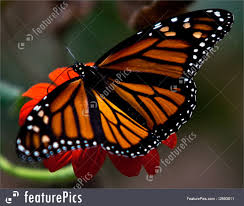 photo of monarch butterfly with wings spread