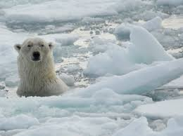 exploring the natural history of polar bears u2013 national geographic