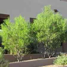 planting desert willow fall country gardens blog