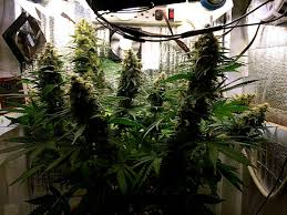 complete guide to cannabis plant training grow weed easy