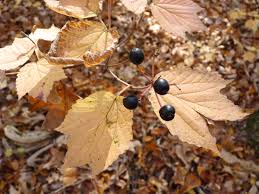 in fall native trees with incredible fall foliage u2014and the birds that love