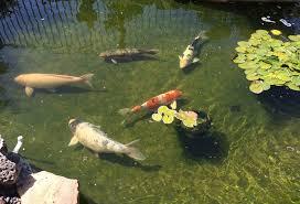 orange county backyard pond designs