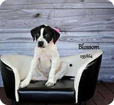 bluetick coonhound in florida winter haven fl bluetick coonhound meet a759067 a dog for