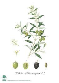 herbariums klorane botanical foundation