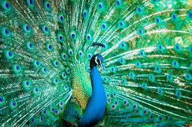 merak biru 10 burung paling indah di dunia christaslifeministries com