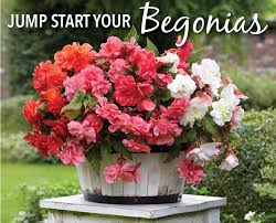 Container Gardening Flowers Time To Jump Start Your Tuberous Begonias Tuberous Begonia
