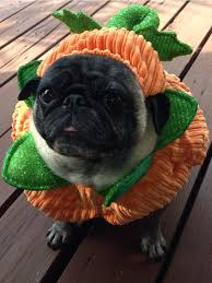 Pug Halloween Costume 224 Cute Pug Clothes Costumes Images Pug