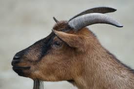 Billy Goat Meme - snappygoat com free public domain images snappygoat com goat