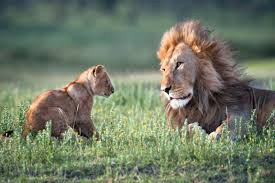 Home Interior Lion Picture After Targeting Elephants Interior Department Puts African Lions