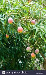 fruit in tree hawaii stock photos u0026 fruit in tree hawaii stock