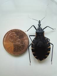 Pictures Of Tiny Red Bugs by Kissing Bug Identification Requires Closer Look Insects In The City