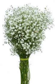 Bulk Baby S Breath Gypsophila New Love Baby U0027s Breath New Love Bulk Baby Breath