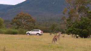 volvo cars begins first ever australian tests for kangaroo safety