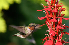 what do hummingbirds eat bird watcher u0027s digest