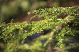 free picture close up leaves pine tree leaf green leaves