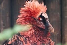 facts about the first thanksgiving for kids 11 facts about the bone eating bearded vulture mental floss