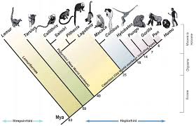 evolutionary changes in primates answers 28 images ape family