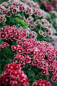 sweet william flowers the higgledy garden shop higgledy garden