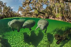 how manatees became mermaids