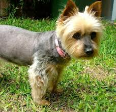 silky terrier hair cut silky and yorkie rescue ssrdogs org au
