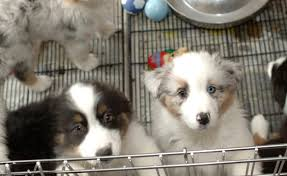 australian shepherd and cats vancouver may limit sales of dogs and cats at pet stores