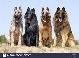 belgian sheepdog groenendael dog four belgian shepherd laekenois groenendael malinois tervuren