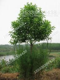 14 best sandalwood tree images on bonsai bonsai