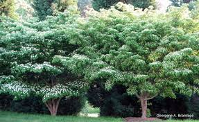 trees for backyard privacy large and beautiful photos photo to