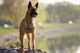 belgian shepherd malaysia belgian malinois puppies breed information u0026 puppies for sale