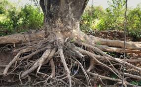 trees attack how tree roots damage your foundation