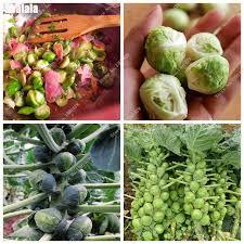 organic vegetable seeds spores cabbage seeds rare home garden