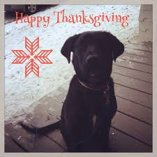 black lab mosby i wish you all a happy thanksgiving from