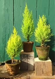 dwarf cypress in pot google search backyard pinterest