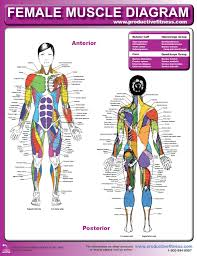 External Female Anatomy Diagram Female Muscle Diagram And Definitions Jacki U0027s Blog
