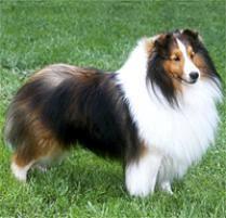 belgian sheepdog on petfinder adopt a shetland sheepdog dog breeds petfinder