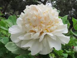 The Most Fragrant Plants - aliexpress com buy 10pc white peony seeds the most beautiful
