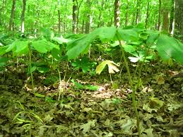 native american plants native plants casual landscaping decisions the destruction of