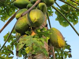 Snake Fruit Tree - a guide to the fruit in brazil