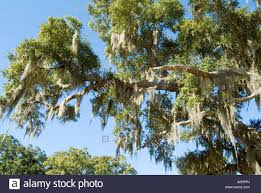 moss in tree bayou le batre alabama united states of