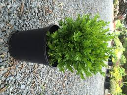 boxwood u2013 dwarf english buxus sempervirens u0027suffruticosa