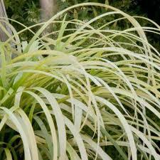 drought tolerant ornamental grasses garden plants flowers
